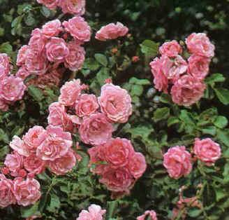 Uitgebloeide rozen afknippen